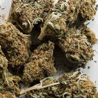 Marijuana-buds